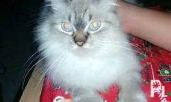 Adult female persian cat with Himalayan blood line Bday