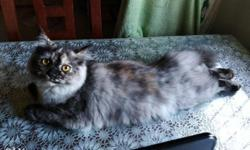 Female 4 months old persian cat