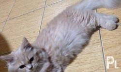 For Sale Persian Cat Male 2 years Old Very Healthy and