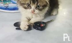Purebreed persian cat Male 2 months old Dob: mar 18,