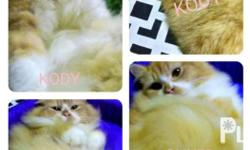Persian cat (male - pure breed) for rehoming Name -