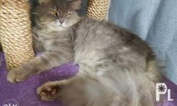Pure Persian Cat 3 y.o. Big Bone Male (heavy) Proven to