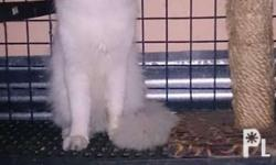 Persian cat stud services Not for sale For inquiries