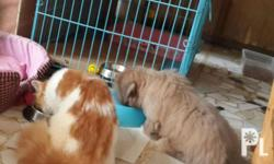 For Rehoming male persian cat 1yr and 7mons XXL size
