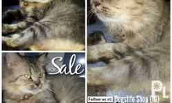 FOR SALE!! P7,999 Persian Cat NAME: SUMMER Female
