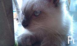1 male Persian cat color- dirty white Playful, sweet,
