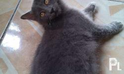 1 male gray Playful and sweet. Makulit. DOB : june 20,