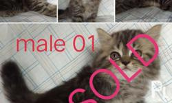 persian cats dob: march 14 updated deworm 3x diet: