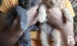 pure breed persian kitten for sale dob-june 6,2017 all