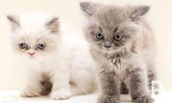 Persian Kittens Female Date of birth : march 12,2018
