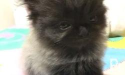 Female persian kitten. grey with black stockings Daddy