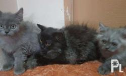 4 male Persian kittens available color: 3 light brown