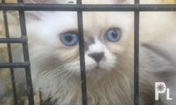 Pure breed Persian kittens semi flat nosed. Ready for