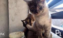 Doll face Persian kittens, 3 1/2 months, dewormed. All