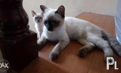 Siamese x persian. Male (4 mons)and female (3mons)