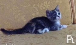 Persian Kitten - Mooh Female Calico Short Haired DOB: