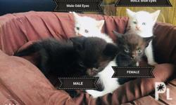 Persian x Siamese 1.5 months old 1500php each only!