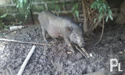 I want to for sale my native buntis baboy 1-1/2 months