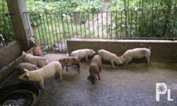 For sale piglets. Available in 13 pieces. Dewormed