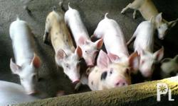 For sale piglets completo bakuna and vitamins. Large