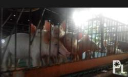 Piglets for sale Dewormed and vaccinated
