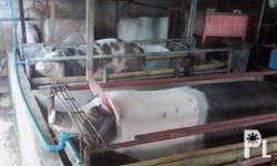 piglets for sale 2000 each po,pietrain at durocs ang