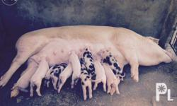 Piglets for sale Complete vaccinated For pick up only