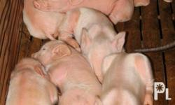 12 heads Piglets Age 3 days Old will available for