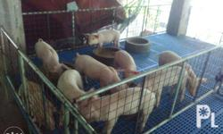 Piglets for Sale! Price: P2000.00 - For Pickup Only! -