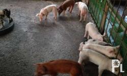 For sale 12 healthy piglets. Available for pick up