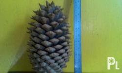 Huge pine cone imported Natural color Very rare