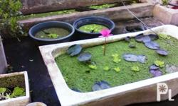 Pink lotus or waterlilies for sale.good for pond
