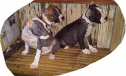 Pitbull Puppies (Bully Type), Date of Birth: July 9,