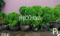 Plants for sale kasama na po paso, iba iba po