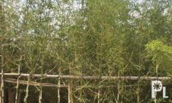 Pole bamboo trees for sale. Cheapest on the market.