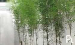 cheap bamboo supplier , bamboo for your landscape