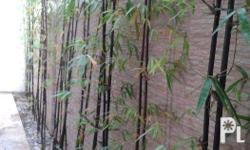 for sale bamboo for your relaxing garden , landscape