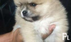3 male pomeranian 2 pom sold 1 avlable no papers but