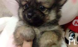 Pomeranian Female Super teacup video available upon