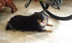POMERANIAN FOR SALE Purebreed Male Pomeranian D.O.B.