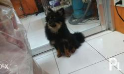for sale male pomeranian black tan active healty pcci