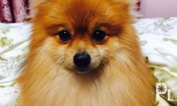 Pomeranian for stud service With PCCI paper Contact me