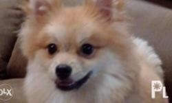 pomeranian male light red sable color small size 7lbs