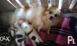 Pomeranian Puppies All Parti Color For Reservation 5K