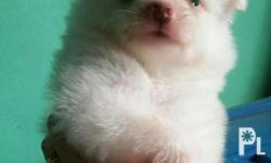 selling my pomeranian puppy male 3months pure white