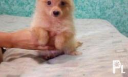 3 months Male Cream Fluppy coat Pure breed Small in