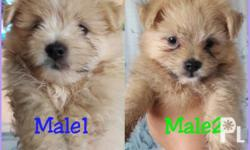 Male Pomeranian crossbreed to Maltese. With initial