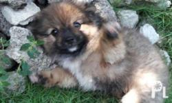 dam-pomspitz, sire-pom 2 months old for sale