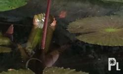 Great addition to your pond. With the right water