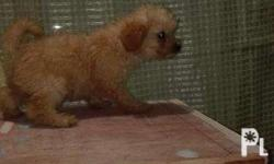 3 mos. Old Apricot colored Toy pPhilippineslisted With